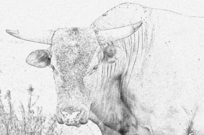 A bull drawing