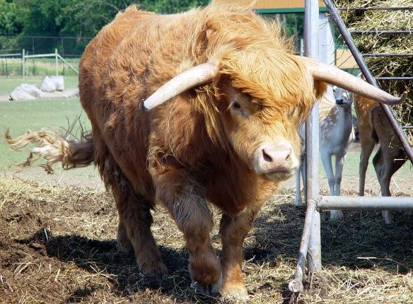Bull picture 4