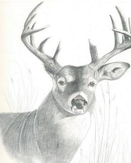 Deer Drawing 5 - Mule Deer by Joette Snyder