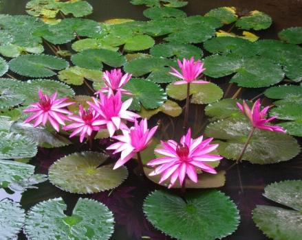 Lotus flowers picture 1