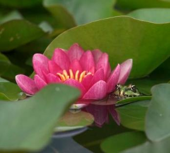 Lotus flowers picture 2