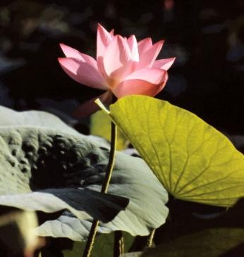 Lotus flowers picture 3