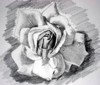 Rose sketch background toning 3