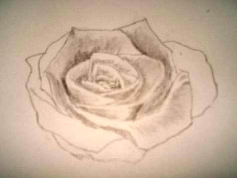 Rose pencil drawings - Sketch 3