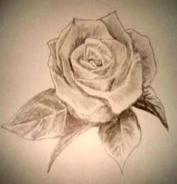 Rose pencil drawings