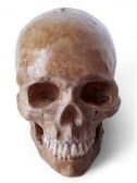 Click here to get your human skull