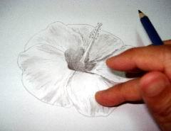 Hawaiian flower sketch 11
