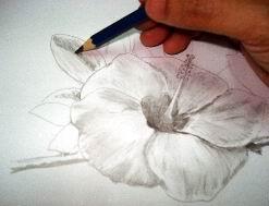 Hawaiian flower sketch 14