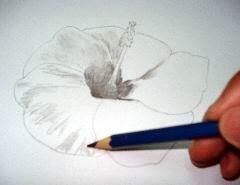 Hawaiian flower sketch 8