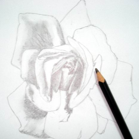 Rose sketch toning 2