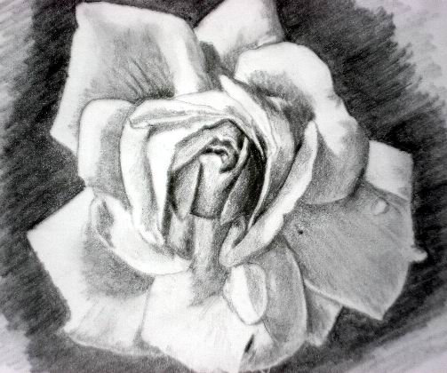 Pink rose pencil drawings