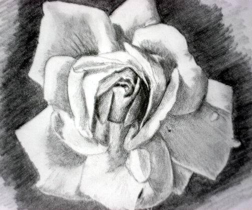 Pink rose pencil drawings