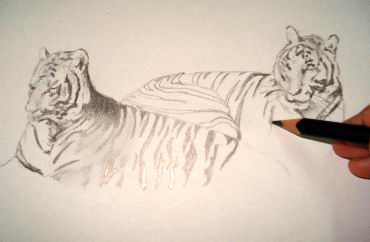 A hand drawn tiger
