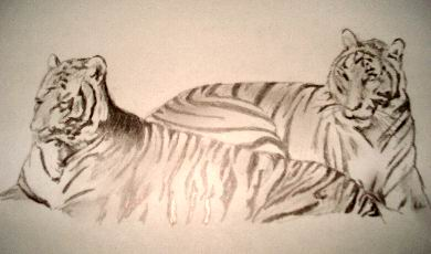 Tigers Pencil Drawing